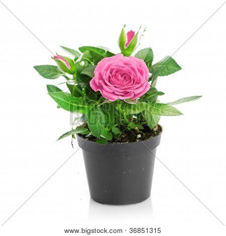 Bunch of pink roses in flowerpot.