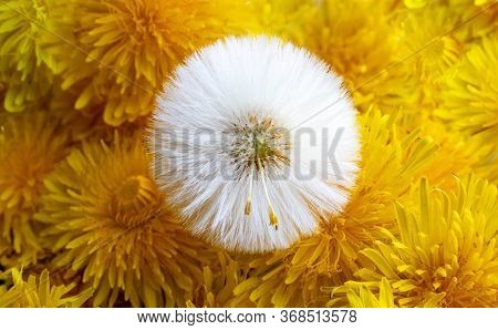White Dandelion On A Background Of Yellow Dandelion Inflorescences.yellow Dandelion Flowers