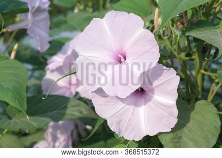 Close Up Morning Glory Flower In Nature Garden
