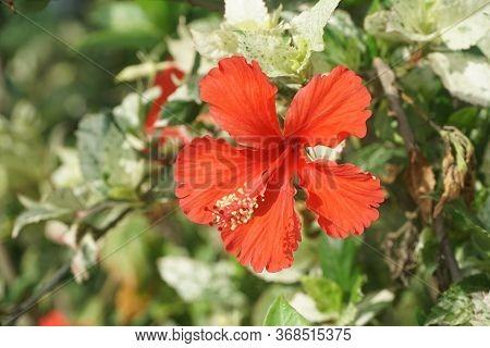 Red Hibiscus Syriacus Flower In Nature Garden