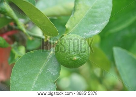 Close Up Lime Fruit In Nature Garden