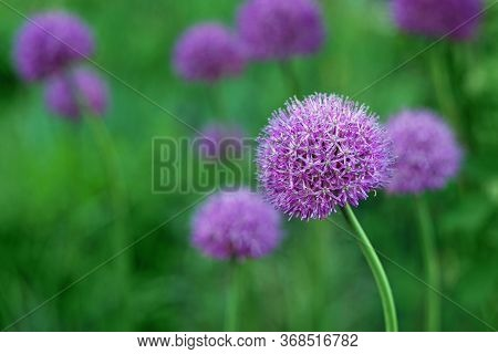 Purple Chives Flower , Or Wild Chives, Flowering Onion, Garlic Chives, Chinese Chives.