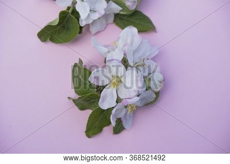 Delicate Flowers Of Apple Tree Background. Blooming Apple Tree On A Pink Background. Background Imag