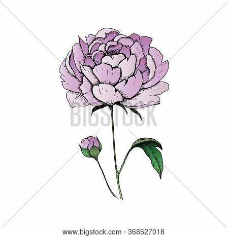 Peony. Single Hand-drawn Pink Flower Peony, Isolated On White Background. Vector Illustration.