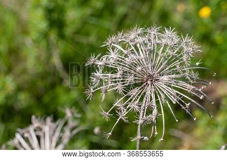Close-up Of A Dry Wilted Flower Head Of A Wild Carrot In Springtime