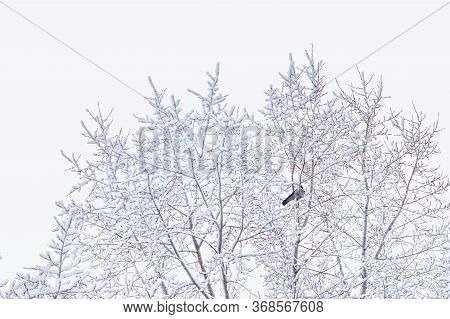 Closeup Of Snow Covered Branches Background Of Tree Branches In The Snow. Crow Sits On A Tree Covere