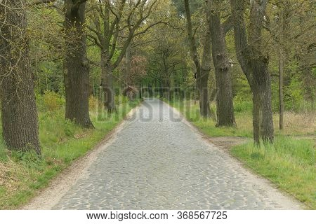 Rural, Narrow, Paved Road.\ncountry Narrow Road. Surface Made Of Black Basalt Cubes. Old, Tall Oaks