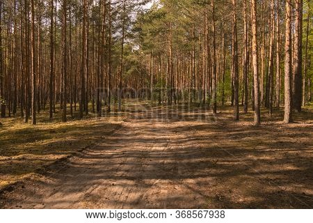 A Sandy, Unpaved Road In A Pine Forest.\nhigh Pine Forest. Green Needles In The Treetops, Slender, T