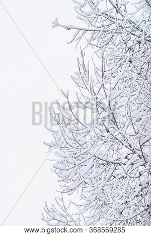 Close Up Of Branches Covered With Snow.tree Branch In The Snow In The Winter Stock Photo.branches Of