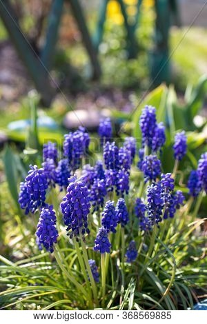 The First Spring Flowers Are Blue-violet Muscari On A Flowerbed In The Garden On A Sunny Day. Close-