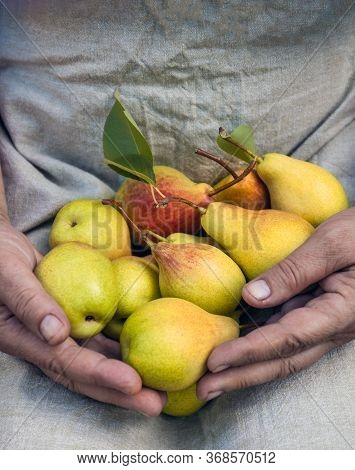 Cropped Woman Holding An Apron In Her Hands With Tasty Juicy Ripe Pears. Top View, Copy Space.
