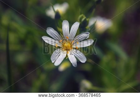Macro Of White Stellaria Media Flowers Or Chickweed Under The Soft Spring Sun.