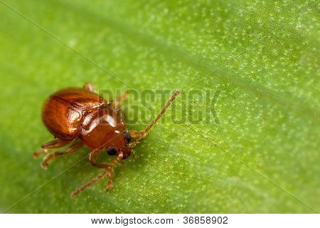 Red Bug On The Leaf