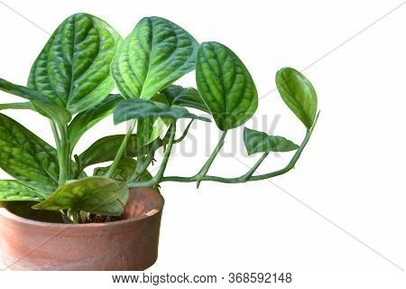 Clipping Path, Tropical Monstera Sp. Peru Or Monstera Karstenianum Or Marble Planet In Brown Clay Po