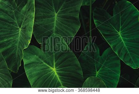 Green Leaves Of Elephant Ear In Jungle. Green Leaf Texture With Minimal Pattern. Green Leaves In Tro