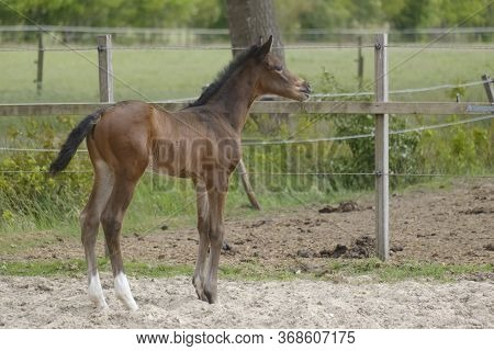 A Little Brown Foal, Mare Foal Standing In Full Body, During The Day With A Countryside Landscape