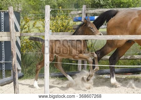 One Week Old Mare Foal Is Playing, She Jumps Over An Obstacle, Behind A Fence, Happy Active Brown Fo