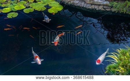 Famous Colorful Asian Fish Koi Carp, Colored Varieties Of Amur Carp Float In An Artificial Pond, Wat