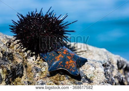 Live sea urchin and star lie on a rock