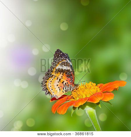 Pieridae Butterfly