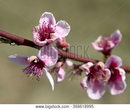 Orchard, Colorful Flowers Of Trees, On A Background Of Blue Sky, Spring In Nature