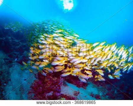 Bigeye Snapper Underwater  In Mabul Island In Malaysia