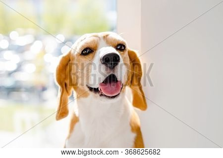 Cute Happy Beagle Dog Portrait. Healthy Dog With Pink Tongue. Domestic Animals.