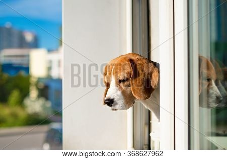 Portrait Of Beagle Dog Looking Out The Window. Young Beagle Dog Wants Walk Outdoors.