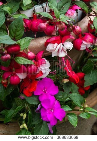 Vertical Orientation Of Red And White Flowering Fuchsia Plant Potted In Garden Container.
