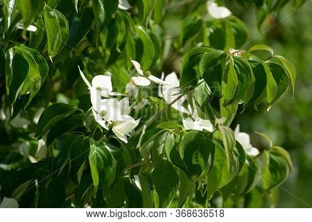 Close-up Of Cornus Kousa Also Called Japanese Dogwood In Bloom