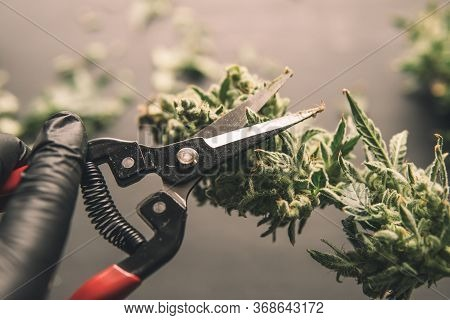 Mans Hands Trimming Marijuana Bud. Growers Trim Their Pot Buds Before Drying. Trim Before Drying.