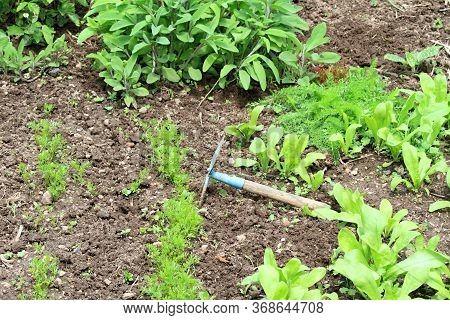 Taking Care Of Permaculture Garden With Various Herbs And Carrot. Young Carrot, Sage,  Yarrow And Ma
