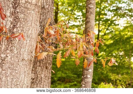 Trunk Of An Oak Tree In Springtime With Fresh Reddish Leaves At A Twig