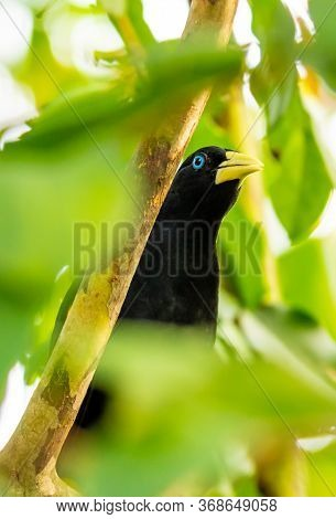 Yellow Rumped Bird Named Cacique (latin Name Cacicus Cela) Is Hiding In The Leafs Of Tropical Tree.