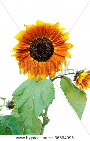 Sunflowers With Leaves.