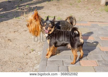 Puppies Of Yorkshire Terrier And Chihuahua. Chihuahua And Yorkshire Terrier. York And Chihuahua On T