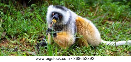 A Diademed Sifaka In Its Natural Environment In The Rainforest On The Island Of Madagascar