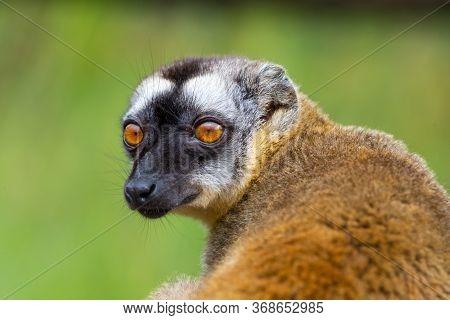 Portrait Of A Brown Maki, A Close Up Of A Funny Lemur