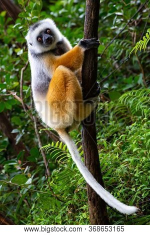 One Diademed Sifaka In Its Natural Environment In The Rainforest On The Island Of Madagascar