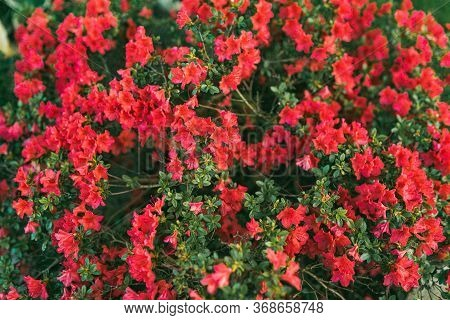 Flowering Shrub Of Red Flowers Against Breen Background. Selective Focus, Soft Floral Background
