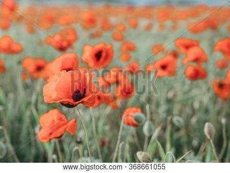 Field With Green Grass And Red Poppies Against The Sunset Sky. Beautiful Field Red Poppies With Sele