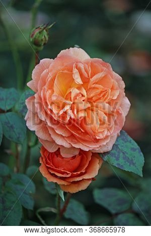 Two Orange Rose Flowers Of The Variety Louise Clements Also Known As Clelou With A Dark Background O