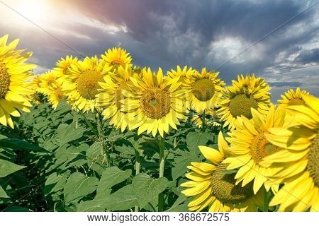 Flowering Sunflower And Beautiful, Dramatic Cloudy Sky