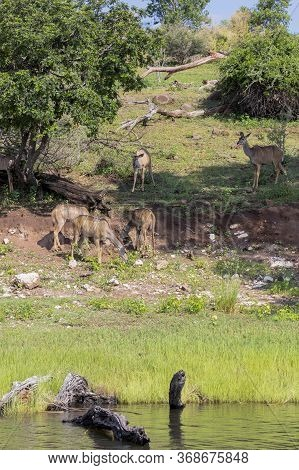 Portrait Format Image Of A Group Of Kudu Feeding Next To The Chobe River In Botswana.