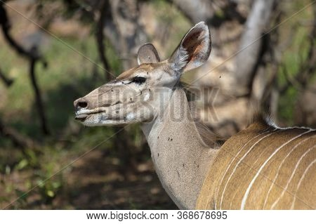 Side Head And Shoulders Image Of An Adult Female Kudu.