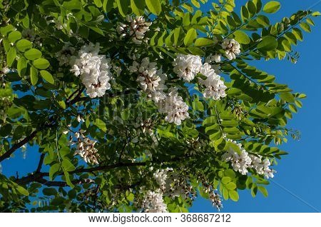 Cream White Flowers And Compound Leaves Of A Black Locust Tree