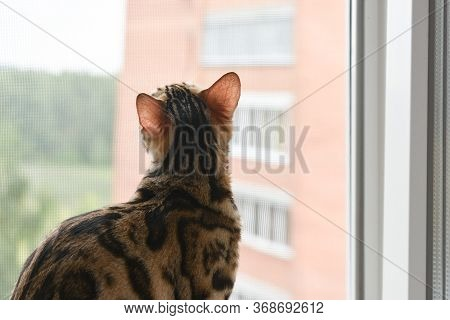 A Beautiful And Graceful Bengal Cat Sits On The Windowsill And Looks Out The Window. A Purebred Pet.
