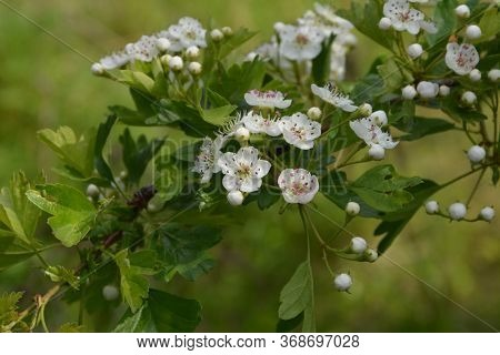Blossom Of Common Hawthorn Or Single-seeded Hawthorn (crataegus Monogyna) In The Spring