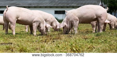 Pig Farming  Raising And Breeding Of Domestic Pigs