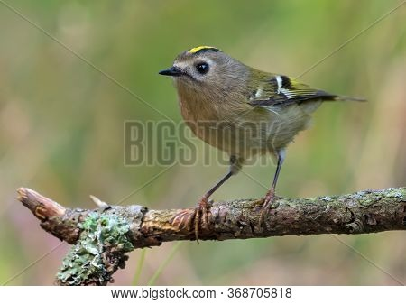 Skinny Goldcrest (regulus Regulus) Sitting And Posing On Lichen Branch Near A Water Pond In Green Fo